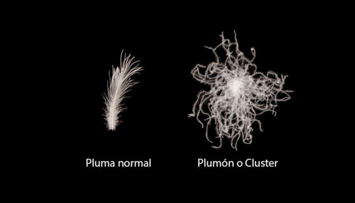 Pluma normal y Plumón o cluster